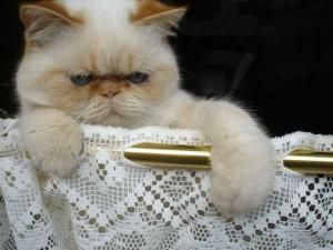 What are the Personality Types of the 12 Most Popular Cat Breeds?: Exotic Shorthair