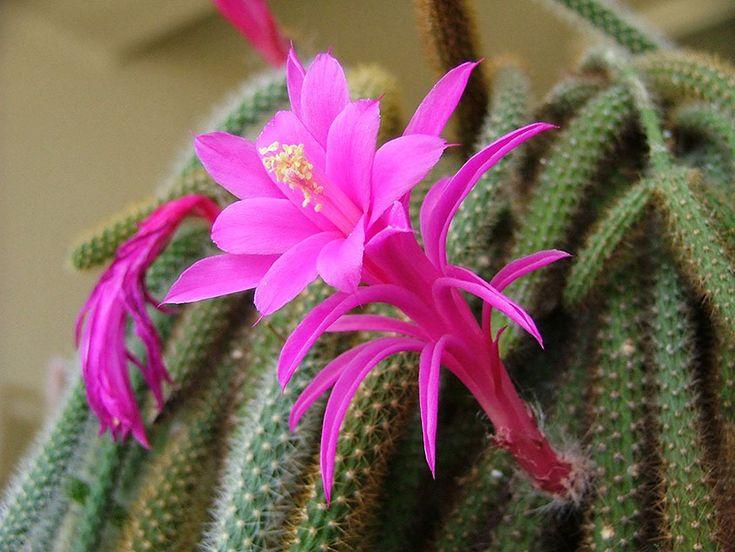 Апорокактус плетеведный - Aporocactus flagelliformis, апорокактус фото