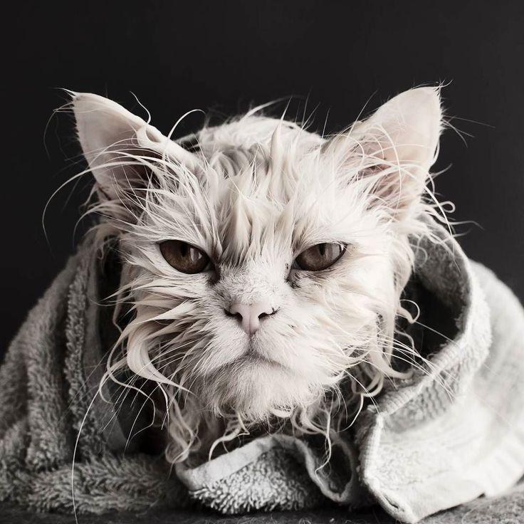 Revenge is a dish that is served cold.  Follow us on: - https://goo.gl/NKk858 - Twitter: https://goo.gl/PlLXiR - Pinterest:https://goo.gl/9NIzFX - Facebook:https://goo.gl/Y7XnNU  #instacat #russianminiatures #pets #petsagram #cat #cats #catsofinsta #catsofinstagram #catstagram #cutecat #catoftheday #lovecats #kitty #bengal #cats_of_instagram #dailycat #bestmeow #kitten #kittensofinstagram #meow #catsareawesome #loveofmylife #lovekittens #kittenlove #lazycat #котик #kittycat
