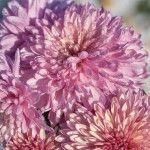"Chrysanthemum indicum ""Orchid Helen"""