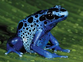 blue-poison-dart-frog, Suriname, South America. STATUS:  Some poison dart frogs are endangered due to habitat loss, which is causing numbers to decline among many species. Only 3 species of poison dart frogs are dangerous to humans. In captivity they are not poisonous as they get their poison from the insects they eat in the wild.