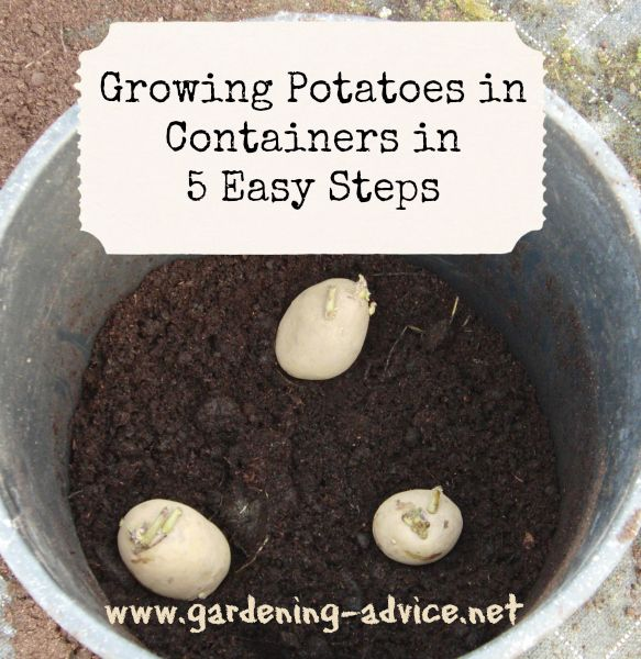 Growing Potatoes In Containers is great fun. This simple way of growing potatoes can be done on the patio, on  balconies or backyard. Harvest loads of delicious tubers from a potato planter.