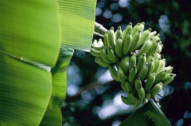Biomassa da banana verde: receita ajuda a emagrecer com saúde