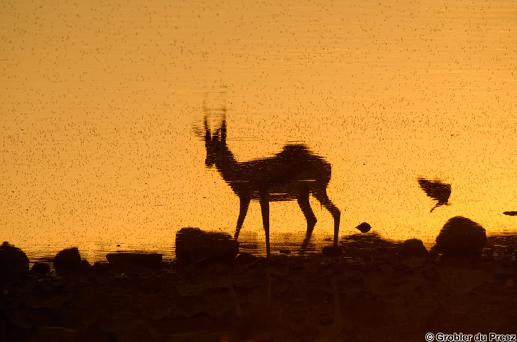 Inverted reflection of a springbok