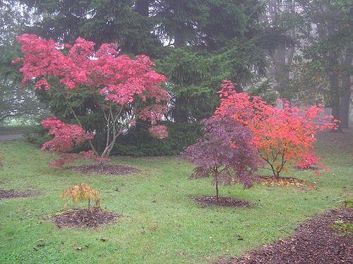 Aceri giapponesi, Parco Botanico Fondazione Minoprio, Vertemate  con Minoprio (CO) – ottobre
