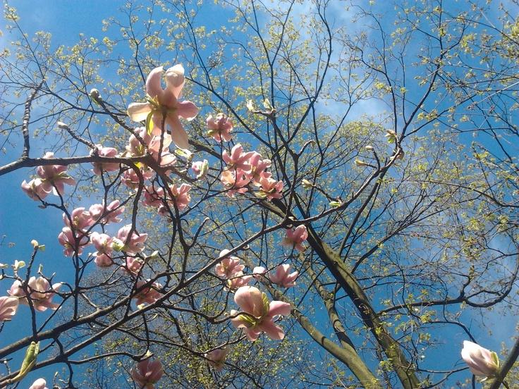 #magnolia