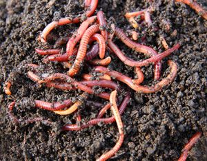 Effortless Earthworm Attraction -- A healthy population of earthworms in your own yard may be just some scraps of cardboard away.