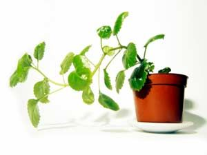 Easy Ways To Plant & Maintain Money Plant – garden