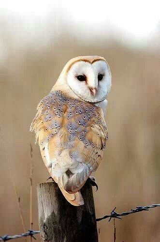 .Lacey Barn Owl