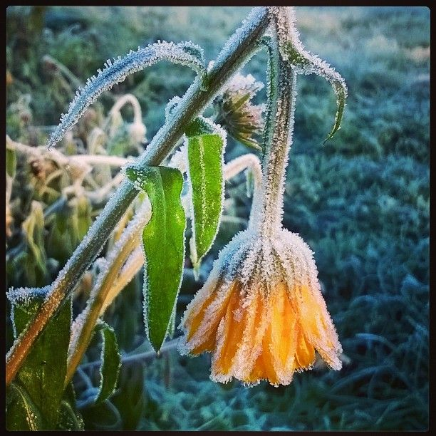 #halla #frozen #Frost #huurre #lokakuu
