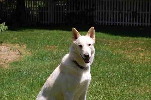 This is Ranger and he's up for adoption.  Find out more about White German Shepherd Rescue