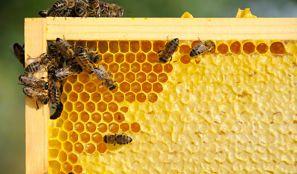 La miel de Manuka para el tratamiento contra el Cáncer. Beneficios de la Miel de Manuka. propiedades de la Miel de Manuka. la miel de Manuka. Manuka.