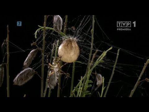 ▶ Niezwykłe pająki - Film dokumentalny. - YouTube