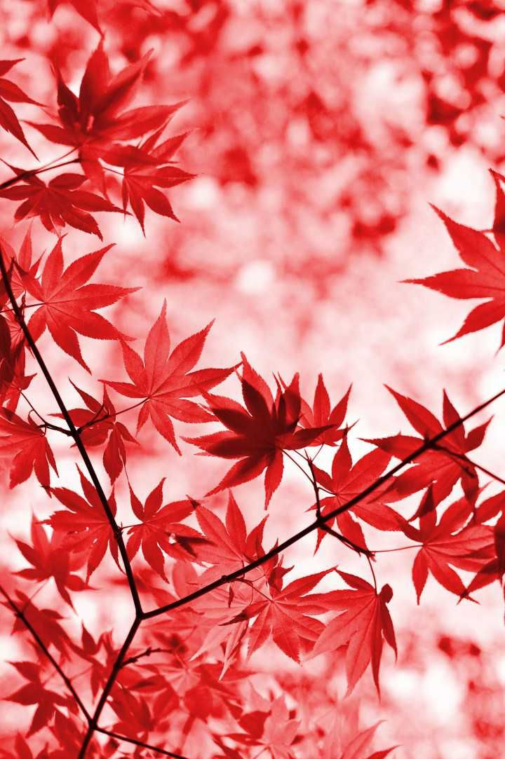 Red Leaves Maple Tree Blur Nature Autumn Photooftheday Beautiful Wonderful Amazing Awesome Hdwa Diy Maple Trees Willow Tree Tattoos Leaf Wallpaper