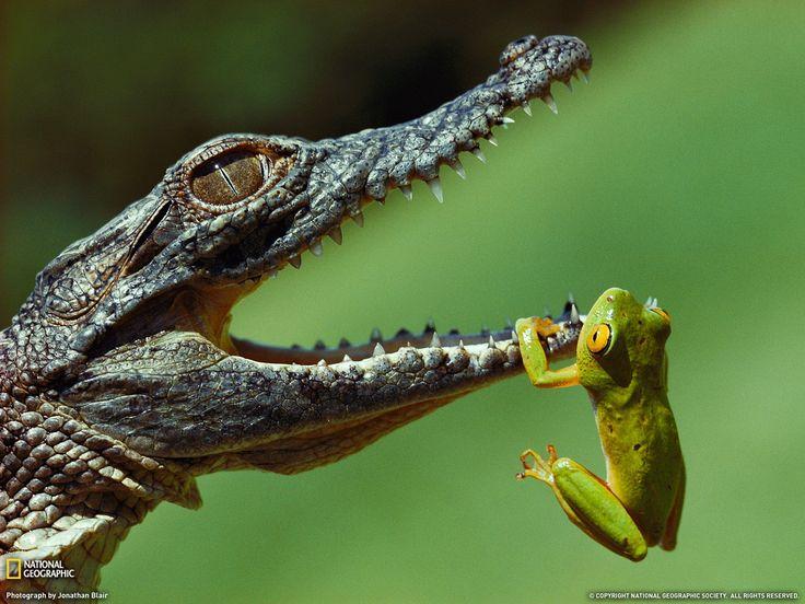 Rana vs coccodrillo e altre  grandi foto sul tuo desktop