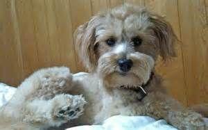 Beagle Poodle Mix - Bing Images