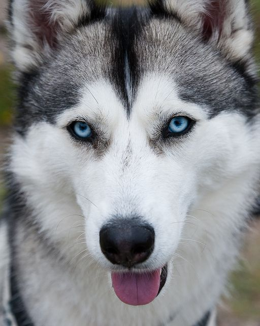 Siberian Husky - One of the most beautiful dogs