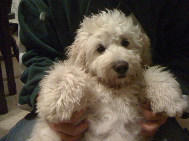 A cute mini English Goldendoodle!
