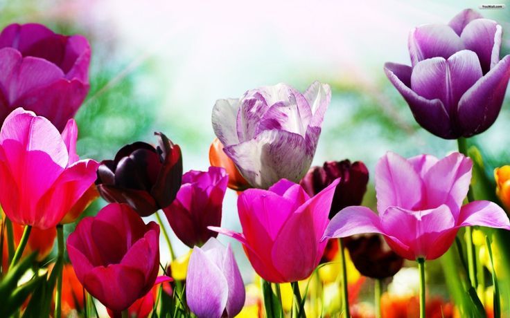 Free Spring Wallpaper on Best HD Wallpapers  http://hdw9.com/social-gallery/tulips-in-spring-wallpaper-17ff3