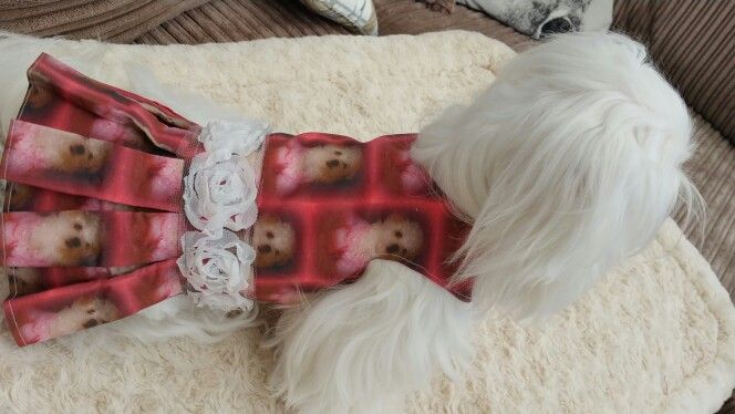 Beautiful dress with Maltese all over it and white roses round the waist such a beautiful colour for sale in Pixies Posh Pets or email us at Pixiesposhpets@yahoo.co.uk