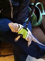 Image result for bearded dragon and dog