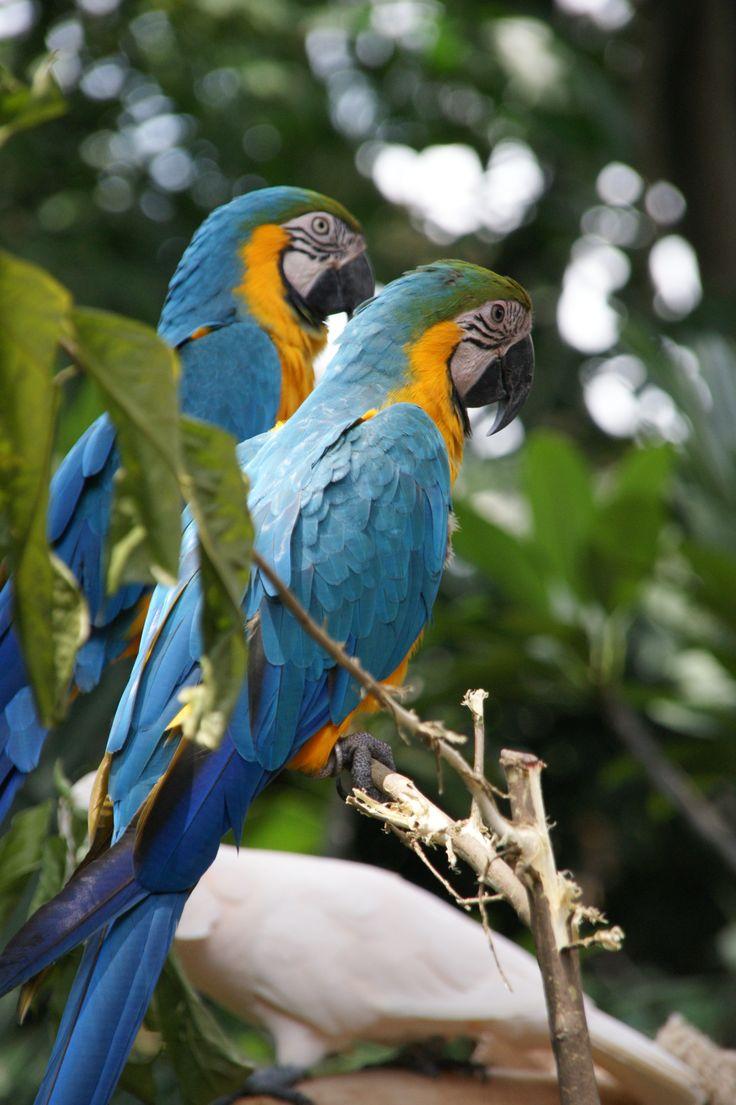 Macaws in Jurong Bird Park, Singapore. October 2011
