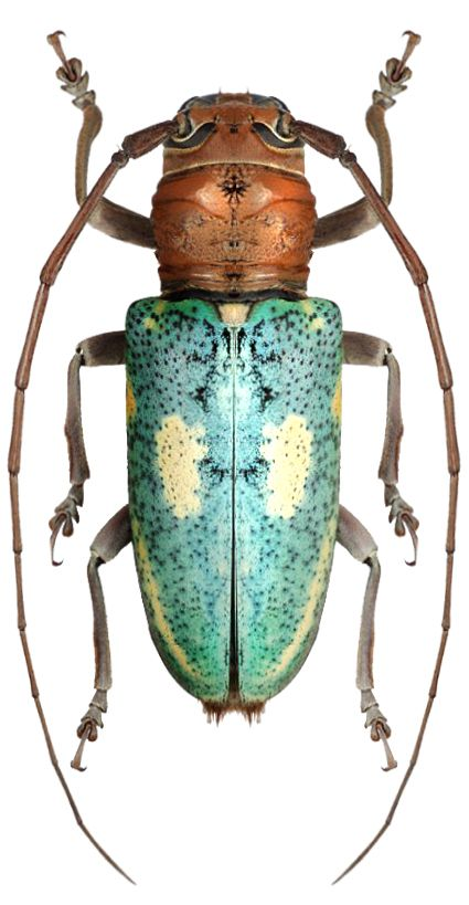 Prosopocera (Hierogyna) peregrina.  |  I could so see th his as a pottery vase: the blue body on a minimally stemmed base, the neck incorporating the look and pattern of the beetles head and neck  -- no appendages.