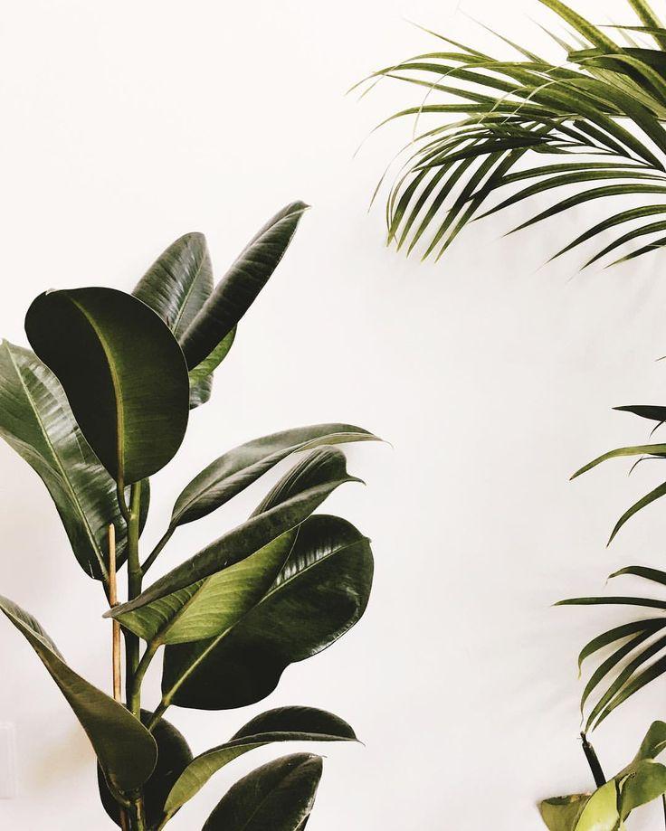 Green Life addict Ficus elastica