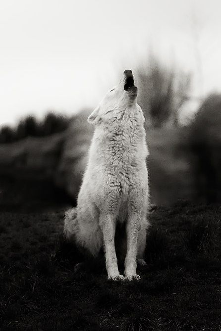 Howling Wolf (by Alex Bruce)