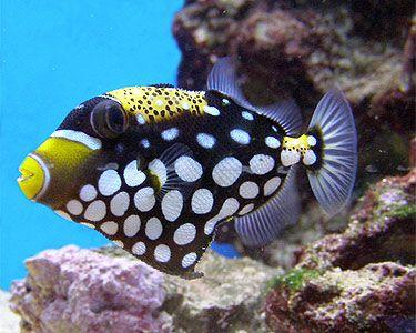 Clown Trigger: Fish Photo, Fish Clowns Trigger, Saltwater Aquarium, Sea Life, Clowns Triggerfish, Salts Life,  Nudibranch, Sea Slug, Fish Snails
