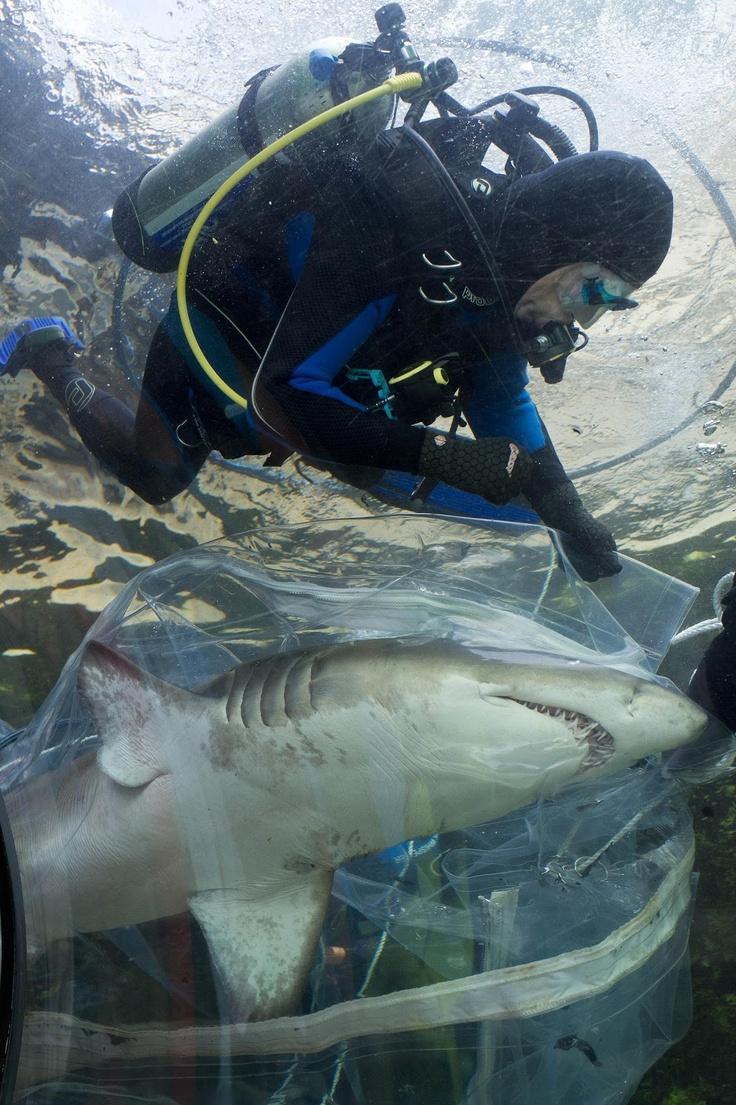 Three Grey Nurse Sharks re-homed as SEA LIFE Sydney Aquarium Completes $10M Overhaul