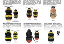 Species Of Bees - Bing Images; http://www.bing.com/images/search?q=Species+Of+Bees=IQFRDR
