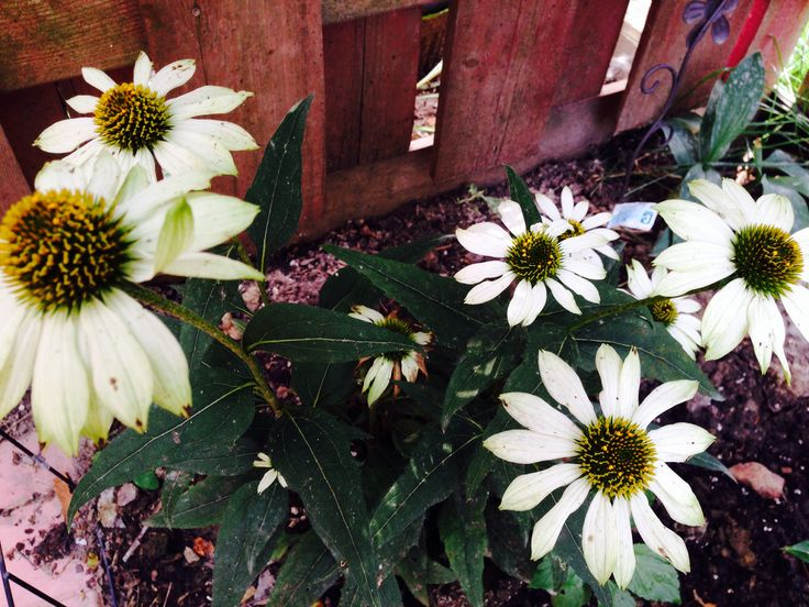 Echinacea, my obsession!