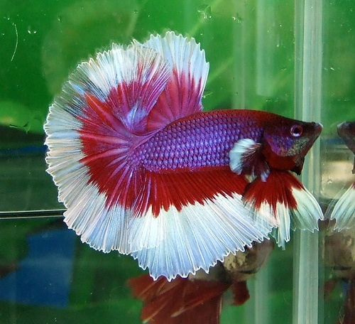 8 best images about poisson betta on pinterest modern for Betta fish together