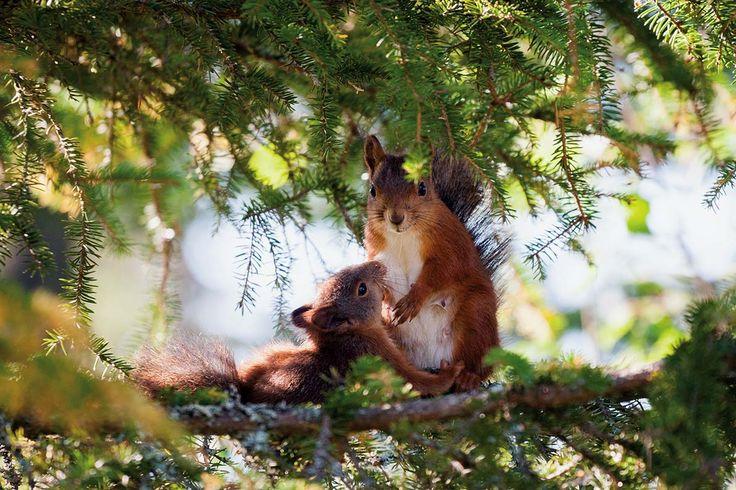 Wiewiórki na drzewie. Zdjęcia: Alamy/Bew, Getty Images, Shutterstock, Tobias Wohlleben  #nature #wild #animals #forest #trees #green #inspiration #natura #fauna #flora #przyroda #dzika #las #Polska #zwierzęta  #wiewiórki
