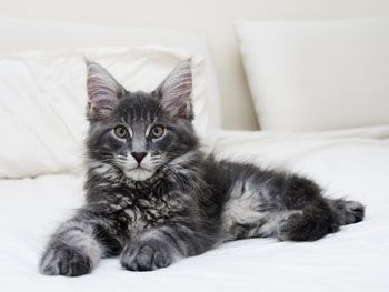 Beautiful! Maine Coon!