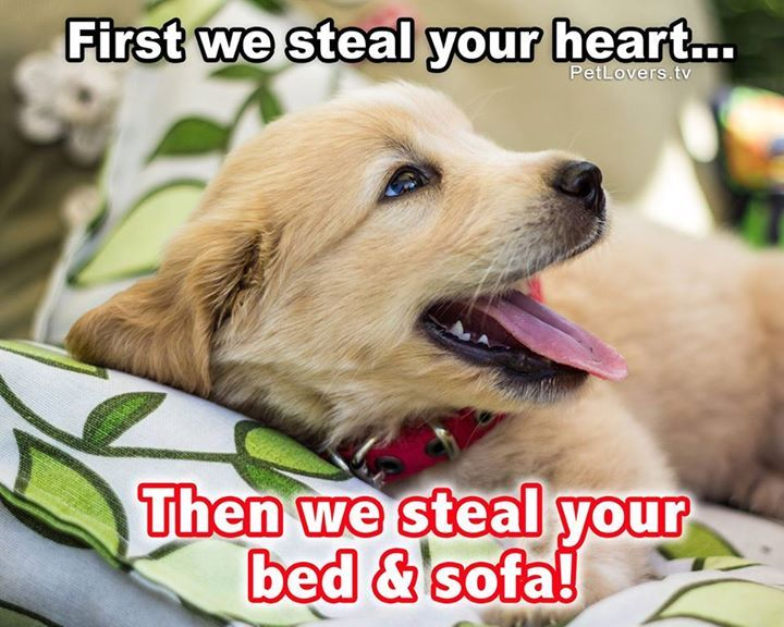 Share if you agree & Comment with a photo of your dog stealing your bed & sofa!  Like Pet Lovers and join our positive, friendly pets community!