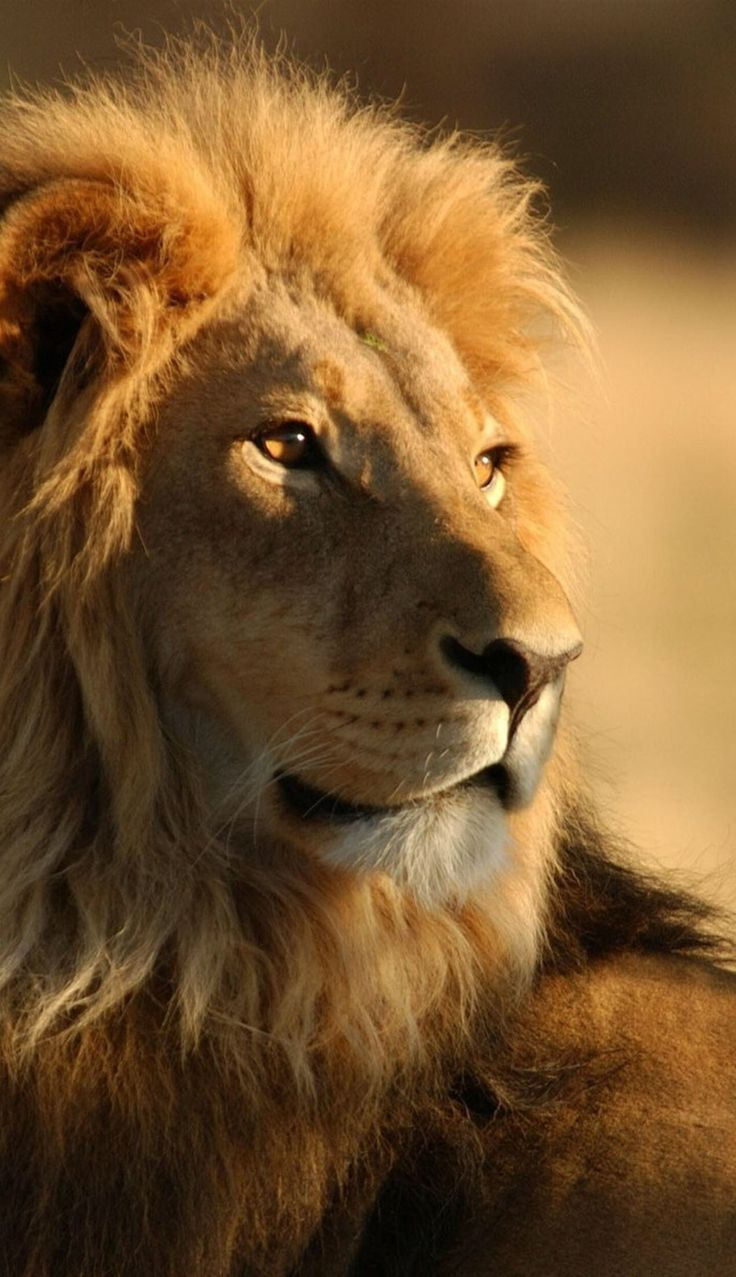 568 best lion images on pinterest big cats wild animals and
