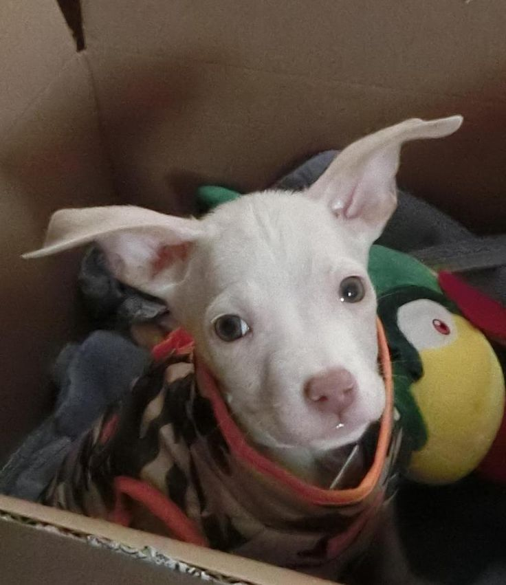 Meet Chance, a Petfinder adoptable American Bulldog Dog | Rochester, NY | Chance is a little male and 8 wks old who was turned into the Rochester Animal Shelter with 3...