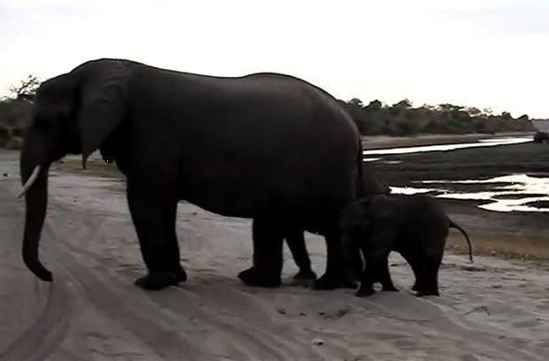 Ένα ελεφαντάκι τρομάζει τον εαυτό του με… φτέρνισμα (video)