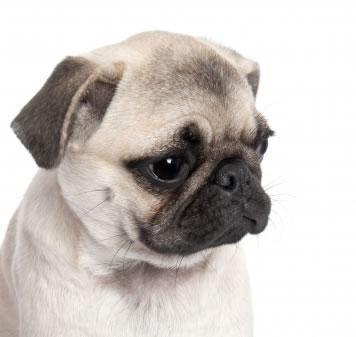 raza de perros pequeños-conocer-razas-de-perros.jpg