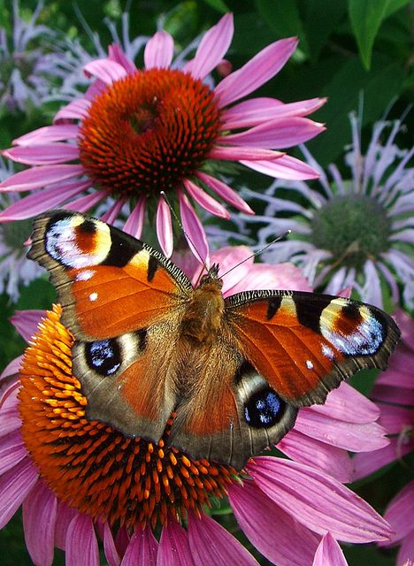 Source: sun-stones - http://sun-stones.tumblr.com/post/14785246770/peacock-butterfly-by-pavlo-kuzyk-on-flickr