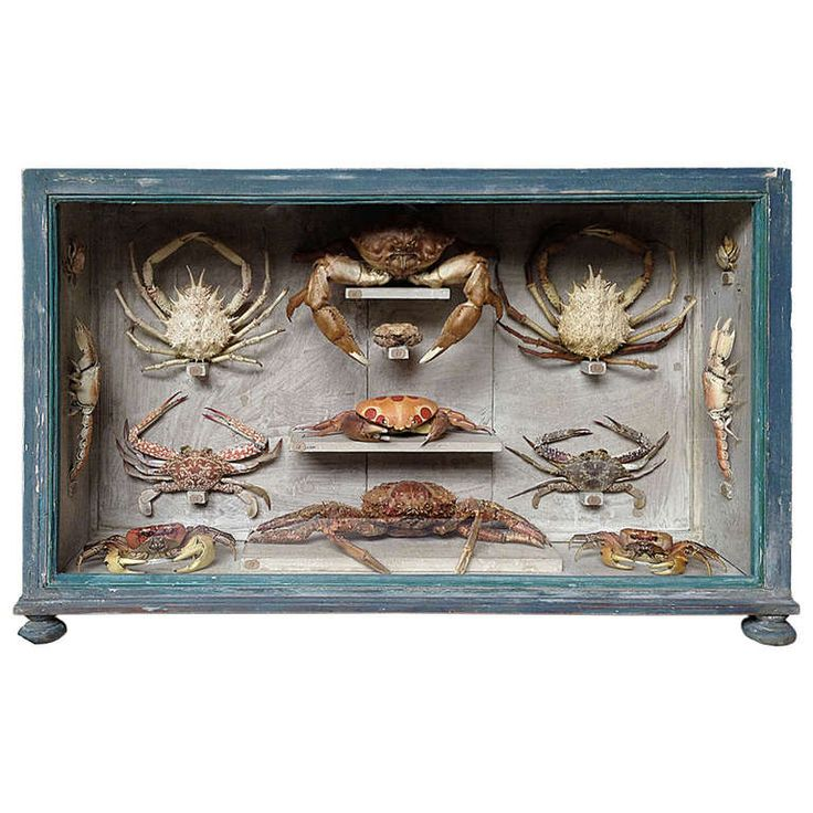 Beautiful Collection of Marine Natural Wunderkammer Specimen of Crabs | From a unique collection of antique and modern decorative objects at http://www.1stdibs.com/furniture/more-furniture-collectibles/decorative-objects/