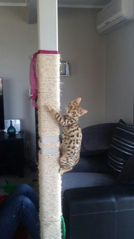 Bengal climbing pole