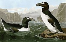 July 3, 1844: Last pair of Great Auks killed. Although individual auks were seen after that, there were no more breeding pairs left, and the birds became extinct. They had been hunted by humans for over 100,000 years, but it wasn't until Europeans developed a taste for auk down comforters that the creature was really in trouble. This painting by John James Audubon shows the Great Auk in its summer plumage.