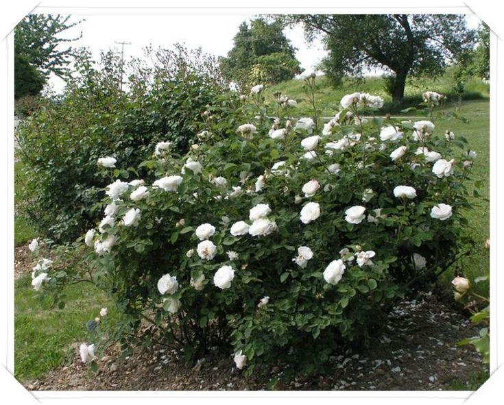 parkowe róże angielskie Auscat