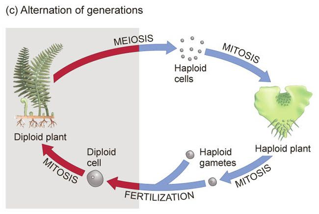 Alternation of generations: type of lofe where organism goes through diploid sporophyte stage and haploid gametophyte stage