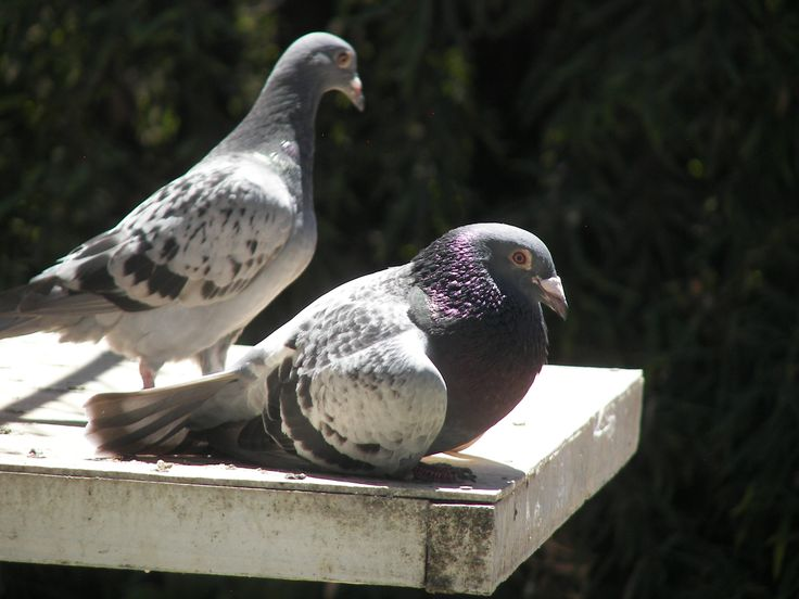 Beautiful Pigeons On Balcony