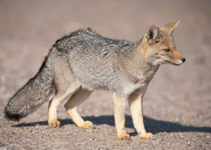 Patagonian Grey Fox in desert landscape.