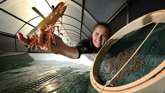 Prawn farming made more profitable by CSIRO